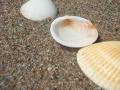 Still Life Of Seashells