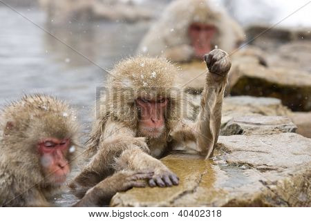 Angry Snow Monkey