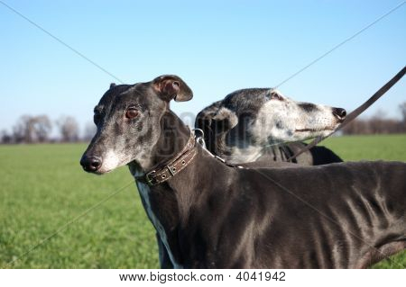 Pair Of Black Greyhounds Before Hunting