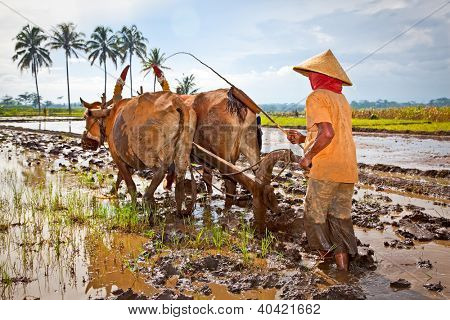 EAST JAVA, INDONESIA- JANUARY 9: Javanese paddy farmer plows the fields the traditional way in preparation for a new season January 9, 2012 in east Java, Indonesia.