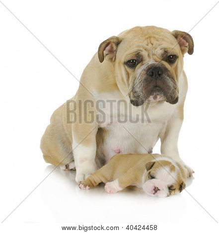 mother dog and her puppy - english bulldog mother and her puppy isolated on white background