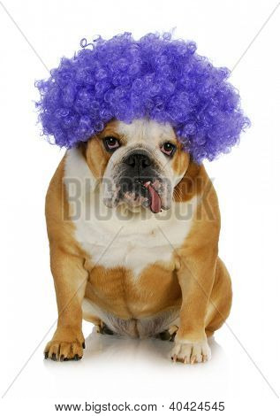 funny clown dog - english bulldog wearing purple clown wig on white background