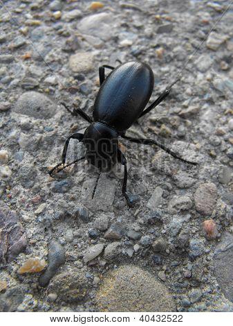 Black Beetle on Cement