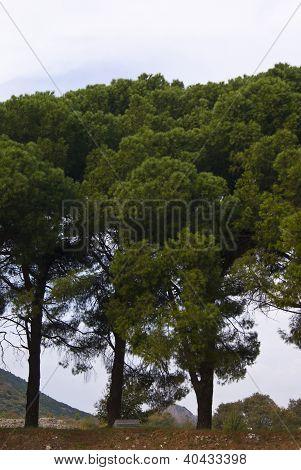 Pinia Trees