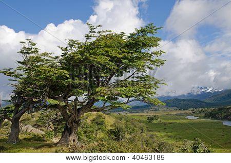 Wind-bent Trees In Fireland (tierra Del Fuego), Patagonia, Argentina