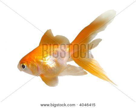 Goldfish Looking