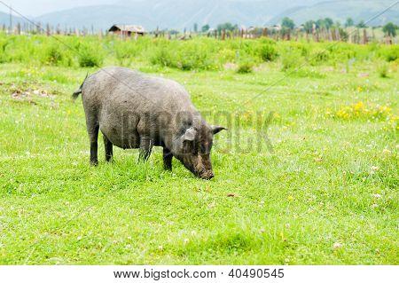 Tibetan Pig