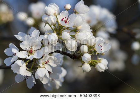 Spring Flowering Bradford Pear Tree Blooms