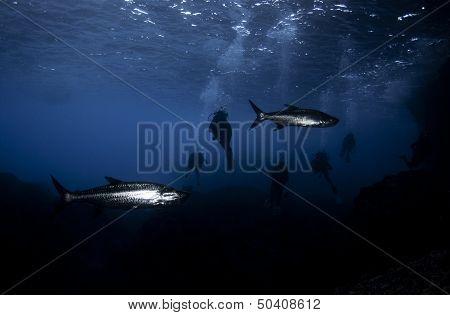 Scuba Divers and Tarpon Fish