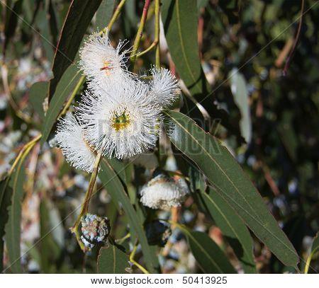 Eucalyptus Globulus-tasmanian Blue Gum Tree