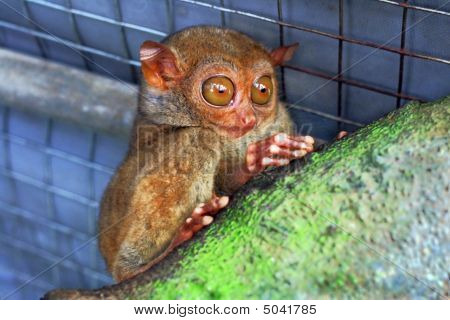 A Lone Tarsier Monkey