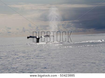 Humpback Whale (lat. Megaptera Novaeangliae)