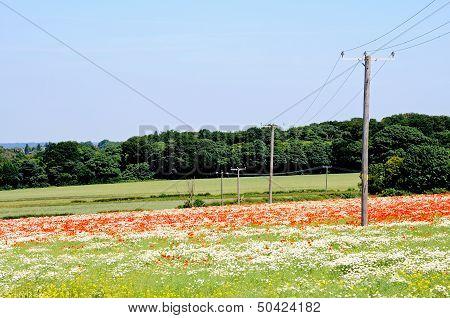 Wild flower fields, Lichfield, England.