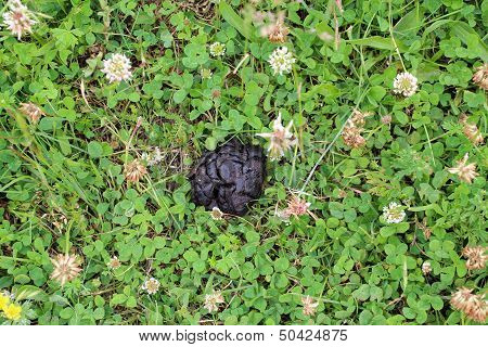 Heap Of Horse dung In The Flowers Of Clover