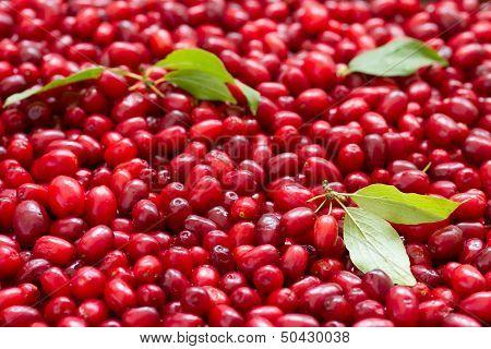 Ripe cornel berries