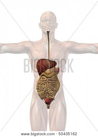 High resolution concept or conceptual anatomical human or man 3D digestive system isolated on white background