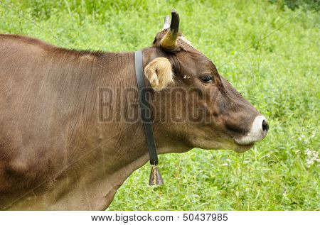 Brown Cow Is Feeding