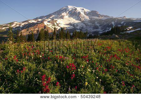 Late Summer Wildflowers Mt. Rainier National Park Skyline Trail