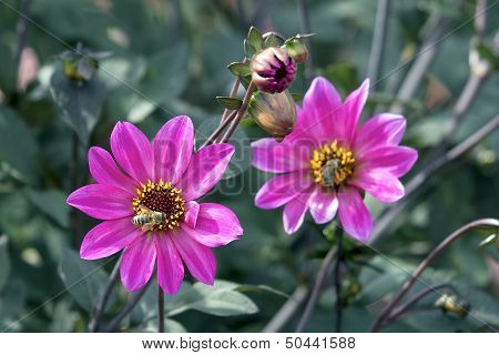Pink Dahlia Flowers With Honeybee