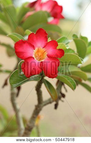 Tropical Flower Red Adenium. Desert Rose.