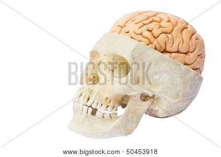 Human skull with brains
