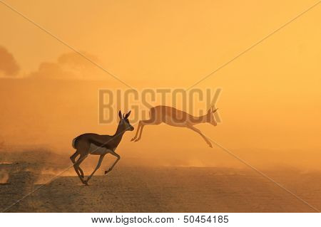 Springbok and Golden Sunset Background - Wildlife from the free and wild in Africa