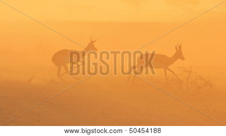 Springbok and Golden Sunset Background - Wildlife in the wild and free - Africa
