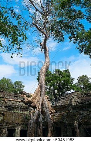 Big Tree At Ta Prohm Temple