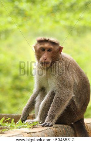 Adult Indian Rhesus Macaque Monkey(macaca Mulatta) Looking At Th