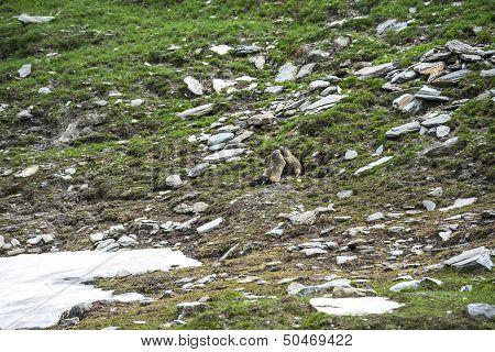 Colle Dell'agnello: Two Groundhogs