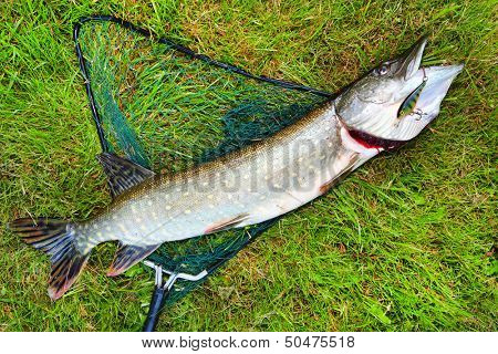 Big Northern Pike (Esox lucius) on a landing net.