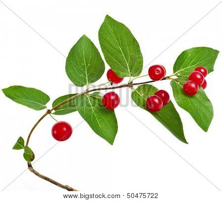 Tartarian Honeysuckle (Lonicera tatarica) plant with red berries isolated on white background
