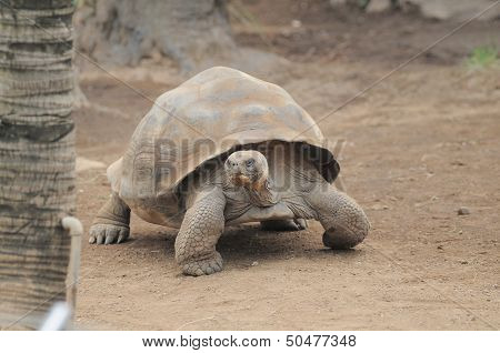 Very Big Brown Tortoise On A Brown Floor