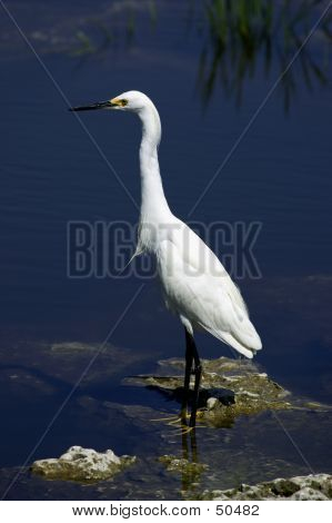 Snowy Egret White Heron Everglades State National Park Florida Usa