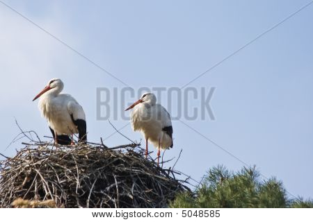 Two European White Storks On Nest