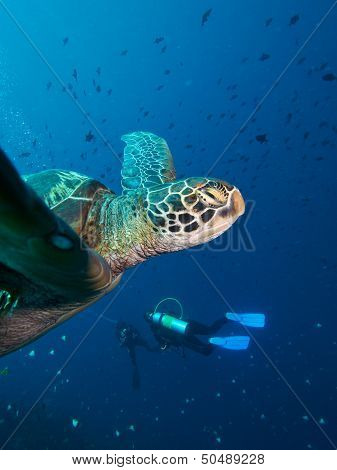 Green Turtle & Divers