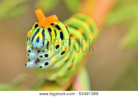 Wild larva of Papilio Macaone