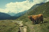 image of highland-cattle  - Highland cow in alpine landscape - JPG