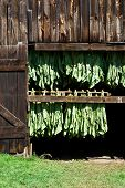 stock photo of tobacco barn  - Connecticut tobacco leaves air drying in a barn - JPG