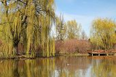 picture of weeping willow tree  - Spring time with a pound with reflection of weeping willow - JPG