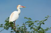 picture of cattle breeding  - A Cattle Egret in breeding plumage perched in a tree - JPG