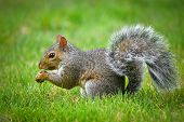 picture of eat grass  - American gray squirrel eating a nut on the grass - JPG