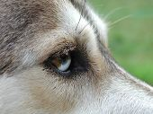 Husky Eye poster