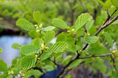 pic of alder-tree  - branch of young leaves of alder in the spring - JPG