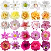 picture of cosmos flowers  - Big Selection of Various Flowers Isolated on White Background - JPG