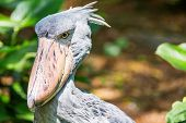 African Shoebill (balaeniceps Rex) Also Known As Whalehead Or Shoe-billed Stork poster
