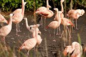 stock photo of flamingo  - The Chilean Flamingo  - JPG