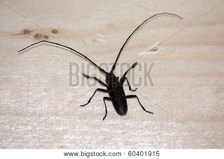 Black Beetle Cerambycidae