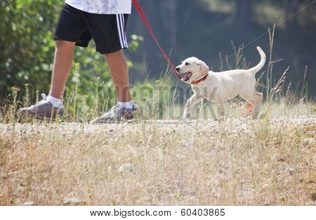 a young boy taking a small labrador retriever puppy for a walk on a red leash