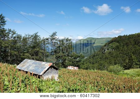 wooden hut and tobacco plantation in